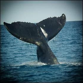 I canti delle balene e il linguaggio dell'uomo sono simili fra loro. le balene hanno la loro sintassi, cioè un modo gerarchico per organizzare i loro canti