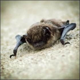 Dal veleno dei pipistrelli vampiro forse nuove cure..